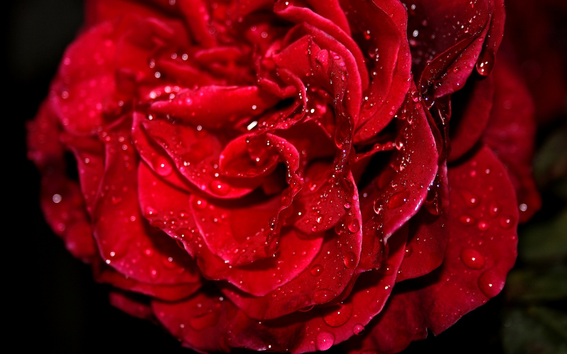 Fresh Red Rose Wallpapers HD Wallpapers
