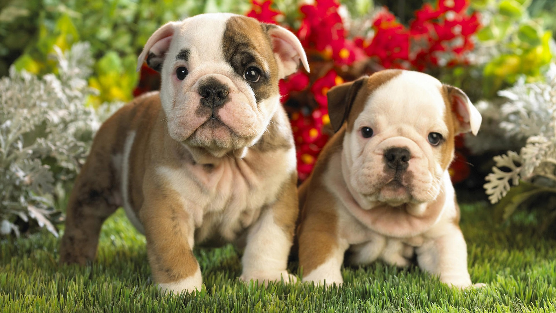 Puppies Cute HD 1080p Wallpapers Download | HD Wallpapers Source