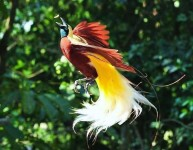 Bird of Paradise aka Cendrawasih Flying Photo Picture From Indonesia HD Wallpaper