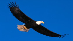 Beautiful Eagle Flying in The Sky Animal Wildlife Image Photo HD Wallpapers of High Resolution HD