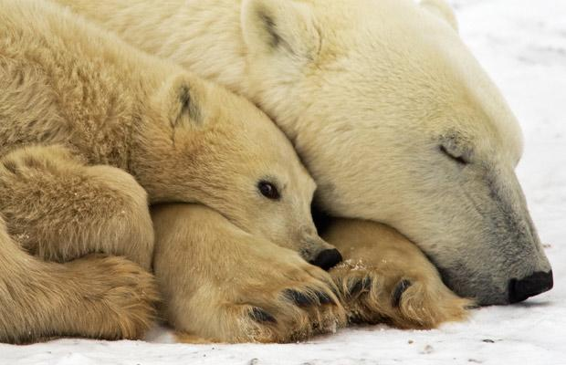 Cute Polar Bear sleeping with cub