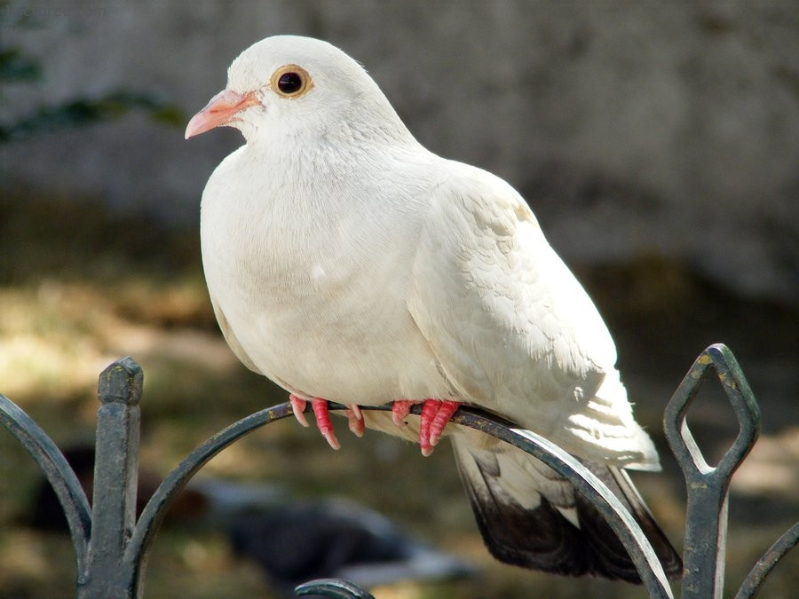 Cute Pure White Dove Wallpapers