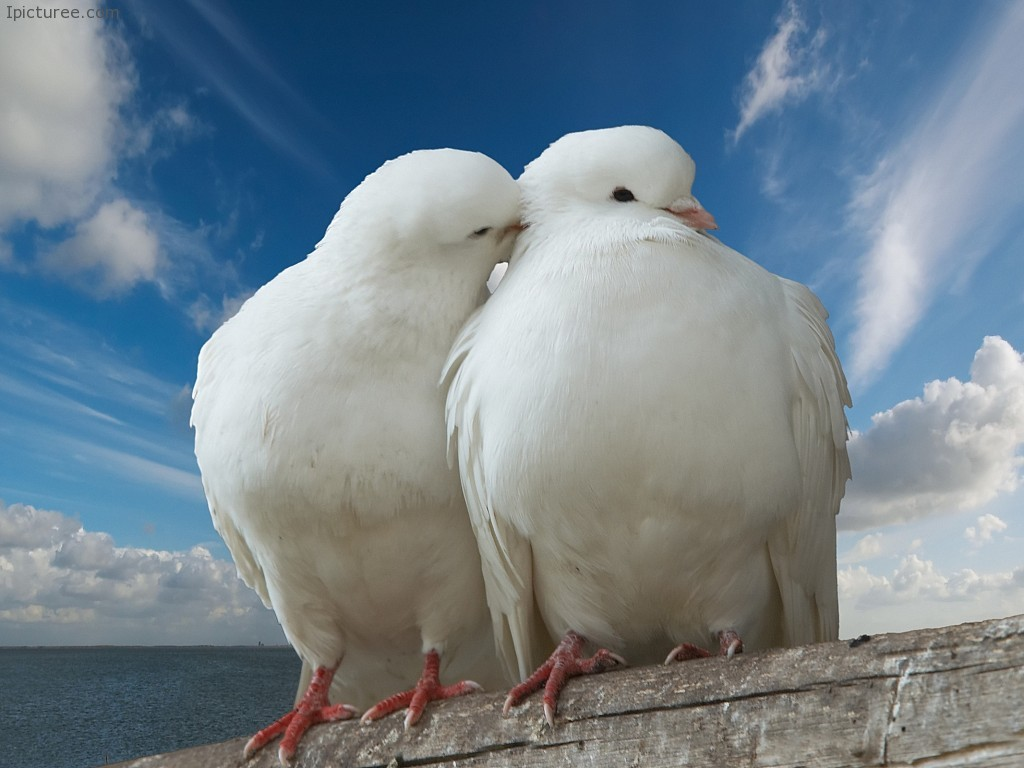 Cute Pigeon And Dove Wallpaper