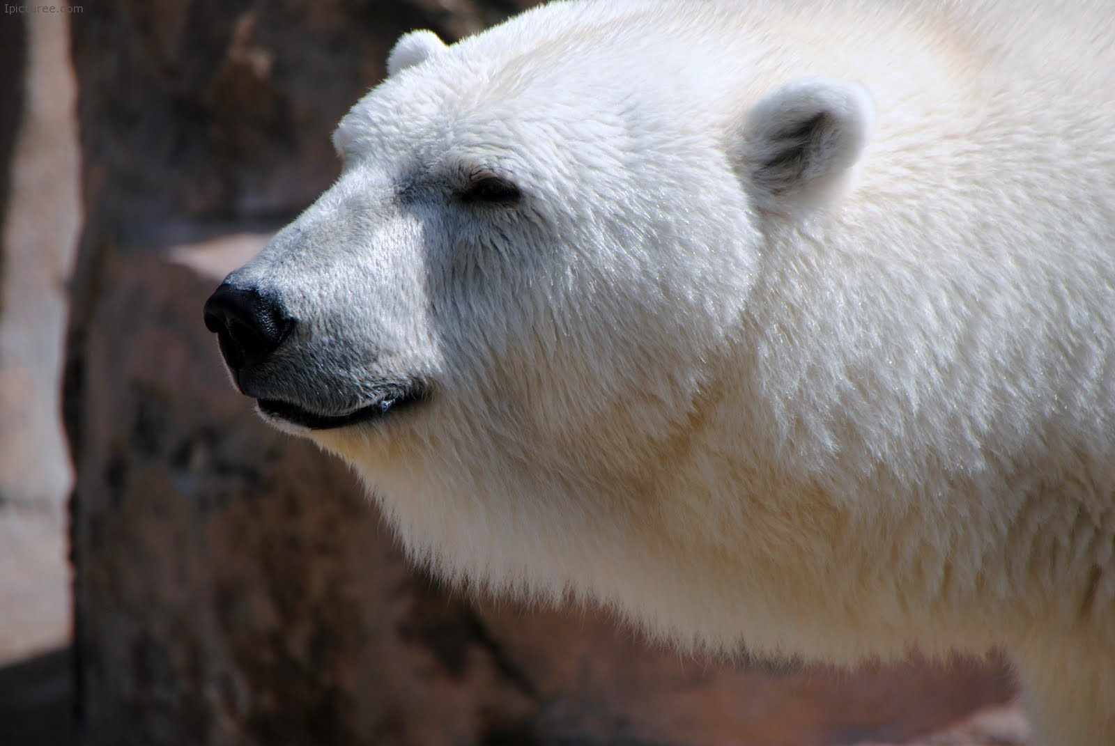 Serious Looking Polar Bear Wallpaper