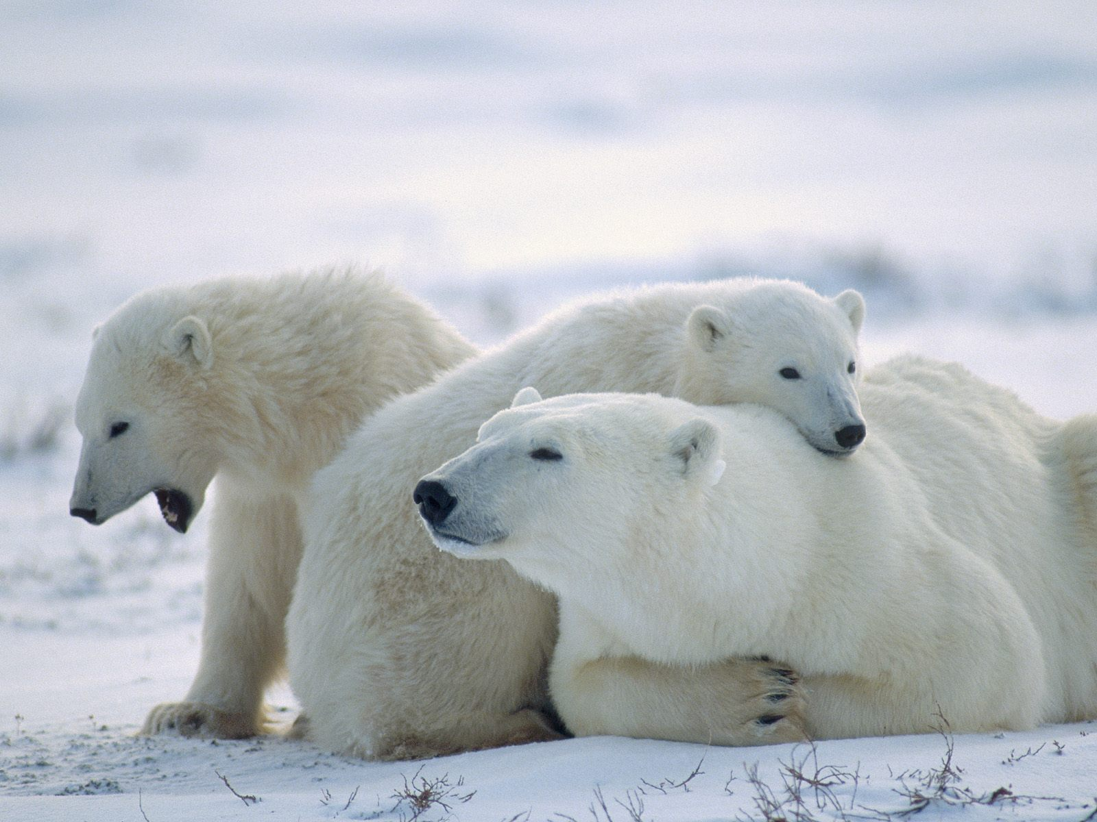 Polar Bear Family with their Cubs wallpaper