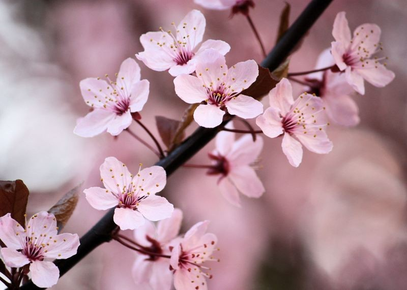 Light Pink Cherry Blossom Sakura Flowers