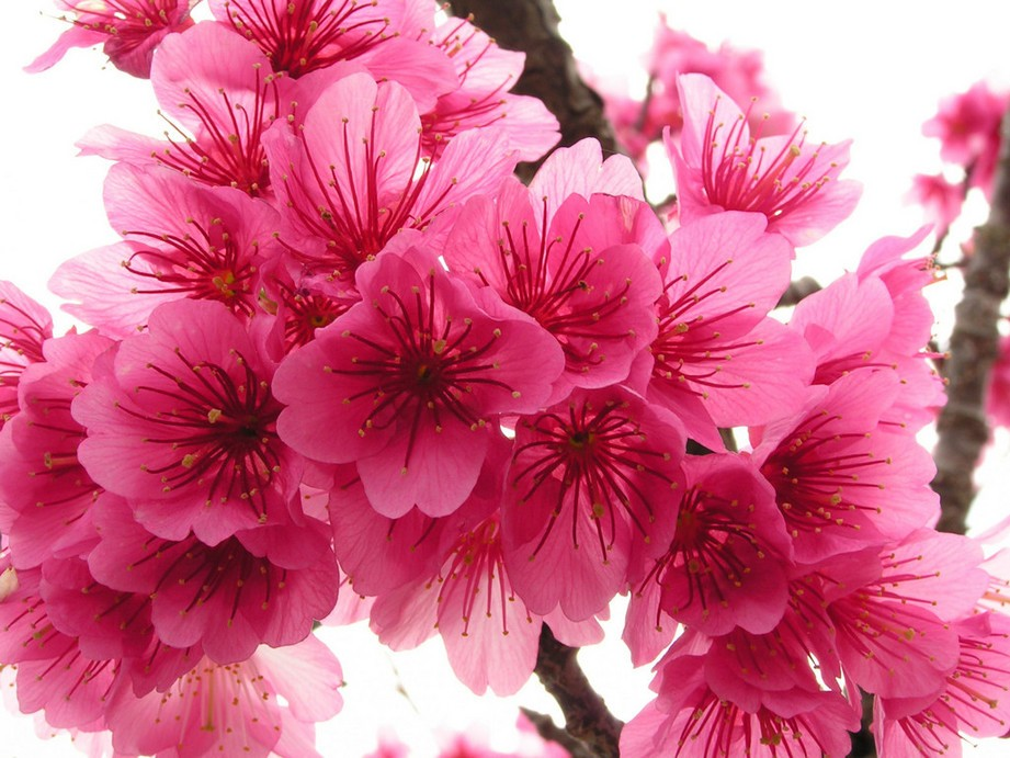 Beautiful Pink Cherry Blossom Sakura Flower Wallpaper