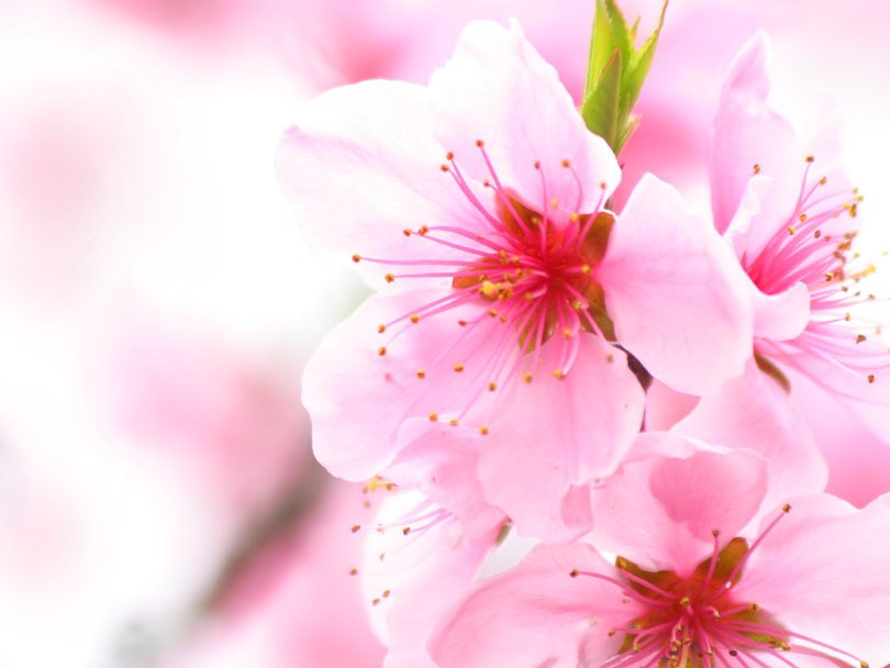Cherry Blossom Sakura Flower wallpaper
