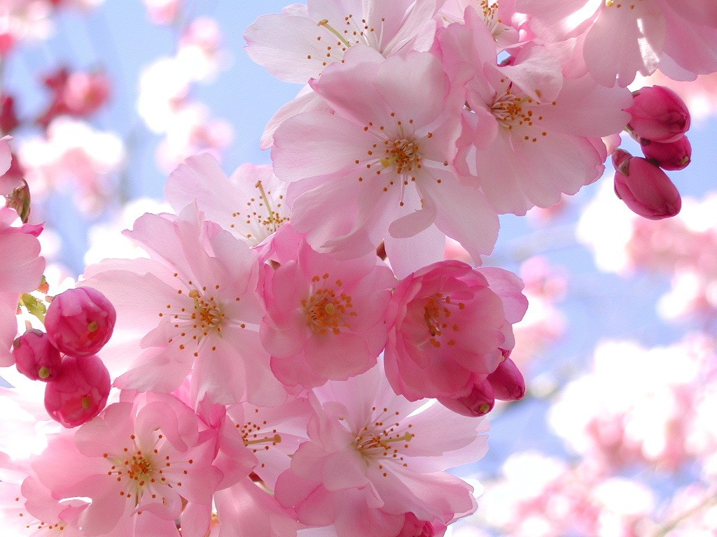 Cherry Blossom Natural Pink Flowers
