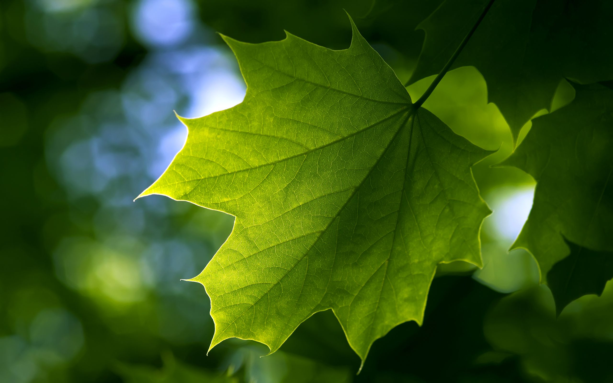 Nature: Beautiful Fresh Green Maple Leaf